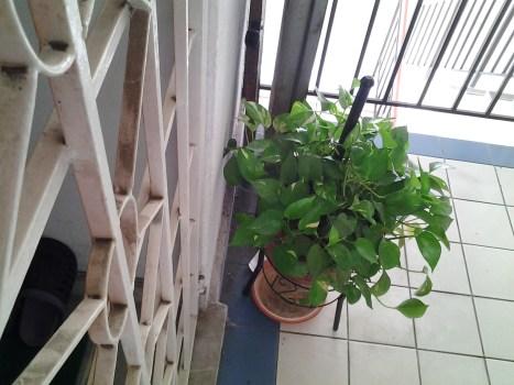 money plant in pot